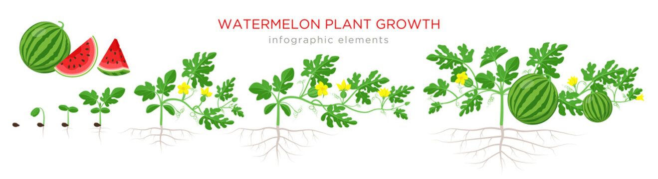 Watermelon plant growth stages from seed, seedling, sprout, flowering, fruit - bearing, mature plant with roots. Infographic elements isolated on white background. Watermelon cross section flat design