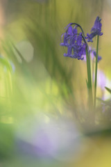 Blue bells - wild hyacinth photographed with a vintage lens