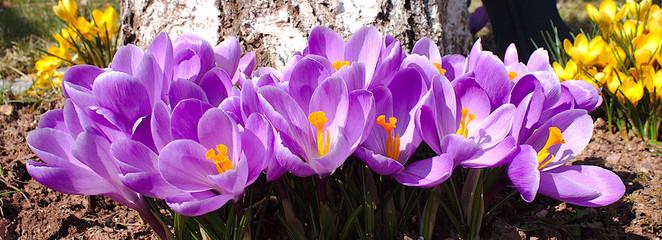 Poster Crocuses Violette Krokusse im Frühling aus der nähe Aufgenommen.