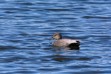 Lone female duck on deep blue water