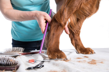 Irish dog setter grooming at the salon for dogs, isolated