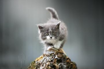 beautiful fluffy kitten posing outdoors
