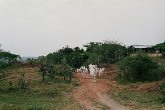 White buffalos on the road in Colombia