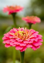 Pink zinnias in the summer garden.