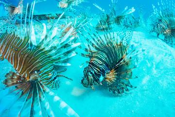 Many Lionfish