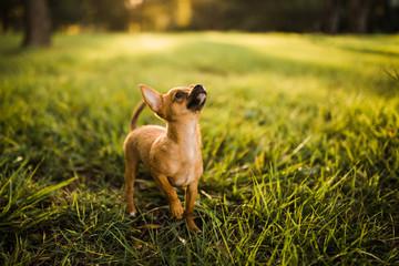 Chihuahua puppy looking skyward