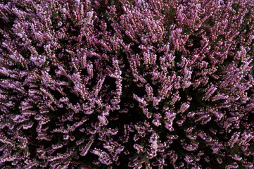 Wild heather growing on Curbar Edge. Derbyshire, UK.
