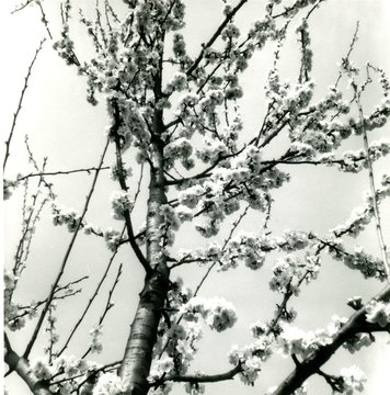 A beautiful cherry blossom