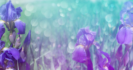 Delicate background of flowers iris. Blurred lilac floral background.