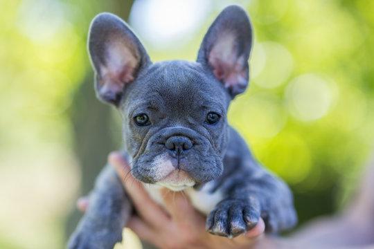 Blue french bulldog enjoying outdoors.