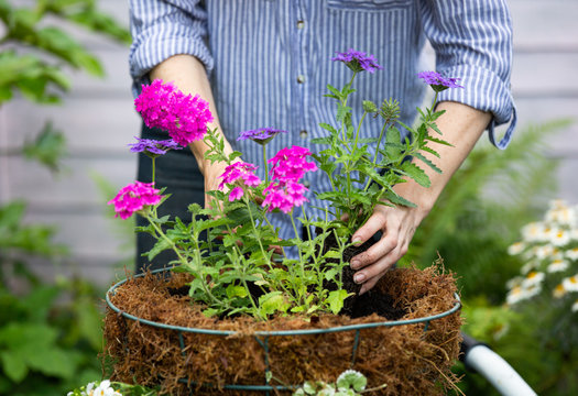 Anonymous woman planting a hanging basket