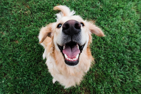 Very happy golden retriever