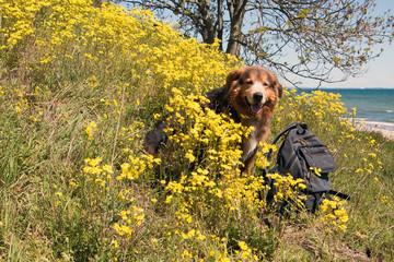 Hund im Frühling mit Rucksack sitz in den Wildblumen Insel Rügen