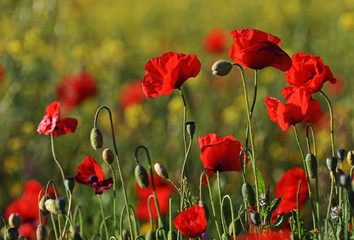 Photo sur Toile Poppy A closeup poppies in a field of red poppies