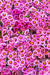 Bouquets of vibrant pink flowers on the market
