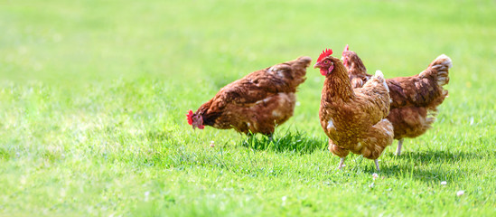 Photo sur Plexiglas Poules Hens on a traditional free range poultry organic farm grazing on the grass with copy space