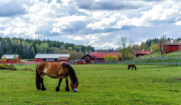Horses grazing on a meadow in Tyresta Village, Sweden