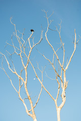 A vulture sitting on the branches of a dry tree - blue sky with moon in the background