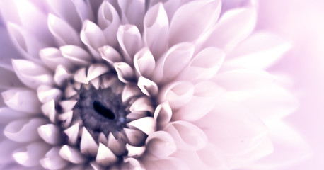 Keuken foto achterwand Dahlia Closeup top view banner of beautiful violet dahlia flower with soft focus. Greeting card concept