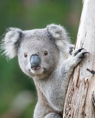 Canvas Prints Koala young koala climbing