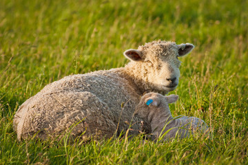 Mother sheep with her baby on pasture in New Zealand
