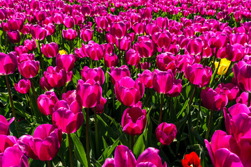 Spoed Foto op Canvas Roze big field of tulips on flower festival in british columbia canada.