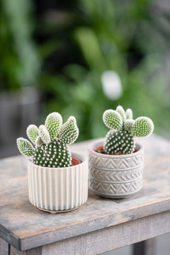 Cactus lover. Collection of cactus in stylish ceramic pots on the wooden table. Minimalistic home interior with composition of cactus and succulents . Stylish concept of home garden.