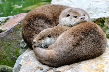 The Eurasian otter (Lutra lutra), other names: European otter, Eurasian river otter. Two cute cuddling otters. Otters in love. Closeup