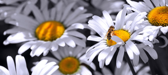 In de dag Madeliefjes Macro shot of white daisies and bee. Summer background.