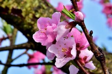 Rosa Blüten des roten Weinbergpfirsichbaumes