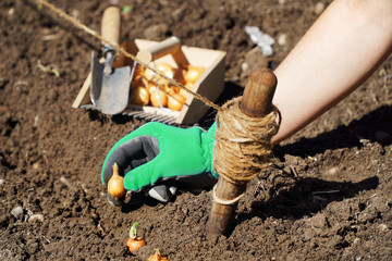 Woman gardening in the garden puts onions in a planting bed on a sunny summer day
