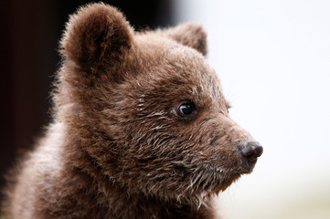 "Orphaned baby bear named ""Aida"" is seen in its shelter in Gunjani village near Sarajevo"