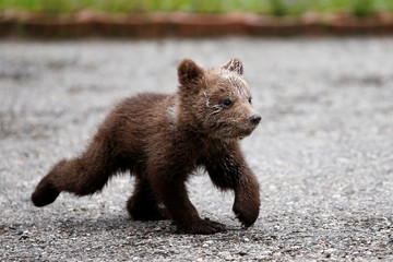 "Orphaned baby bear named ""Aida"" runs in its shelter in village Gunjani near Sarajevo"