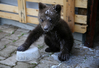 "Orphaned baby bear named ""Aida"", covered with milk, is seen during its lunch in Gunjani village near Sarajevo"