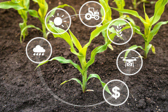 Growing corn seedling in cultivated field with modern technology concept. Smart agriculture.