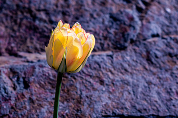 Akebono tulips