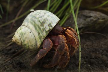 Fototapete - Caribbean hermit crab (Coenobita clypeatus)