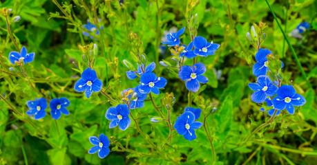 Blütenpflanze, Ehrenpreis, Gamander Ehrenpreis, Veronica chamaedrys