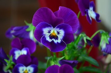 Papiers peints Pansies lovely colored pansy flowers in a pot