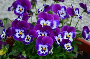 Foto auf Acrylglas Stiefmutterchen lovely colored pansy flowers in a pot
