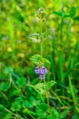 Blütenpflanze, Purpurrote Taubnessel,  Lamium purpureum, Taubnessel