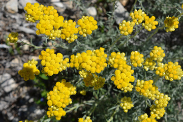 yellow flowers in the garden, Helichrysum italicum