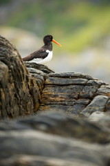 Haematopus ostralegus. Runde Island. Norway's wildlife. Beautiful picture. From the life of birds. Free nature. Runde Island in Norway. Scandinavian wildlife. North of Europe. Picture. Seashore. A won