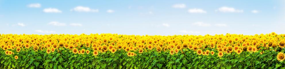 Sonnenblumenfeld mit Blauem Himmel Panorama Wall mural