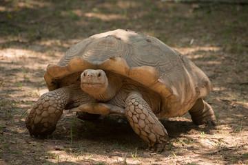 Wall Mural - Aldabra Tortoise
