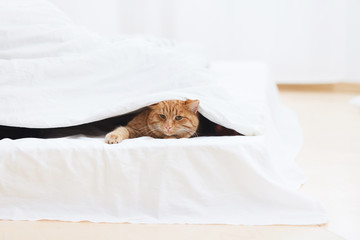red cat sleeps next to the owner on a white bed in a light interior. relations of animals and people