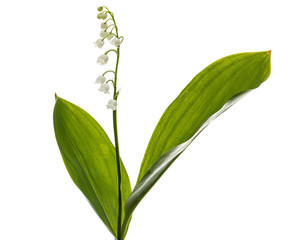 Poster de jardin Muguet de mai White flower of lily of the valley, lat. Convallaria majalis, isolated on white