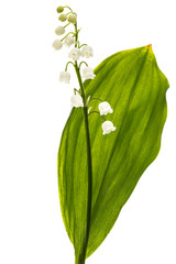 Photo sur Plexiglas Muguet de mai White flower of lily of the valley, lat. Convallaria majalis, isolated on white