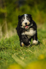 Bearded collie puppy in a spring meadow
