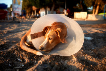Injured dog with elizabethan collar on his neck lying on the sand
